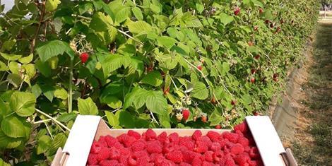 image - PRODUCTEUR DE FRUITS ROUGES - MELSIDIA